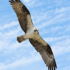 Maker:  Ronald Austin<br /> Title:  Osprey<br /> Category:  Wildlife<br /> Score:  13