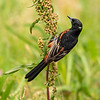 Maker: Cindy Singletary <br /> Title: Orchid Oriole  <br /> Category: Wildlife <br /> Score:  12