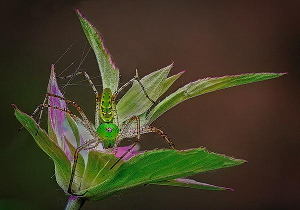 Maker:  Wayne Tabor<br /> Title:  Lynx Spider Guarding Flower<br /> Category:  Macro/Close Up<br /> Score:  11.5