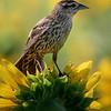 Maker:  Dirk J. Sanderson<br /> Title:  Bird on Sunflower<br /> Category:  Wildlife<br /> Score:  11.5