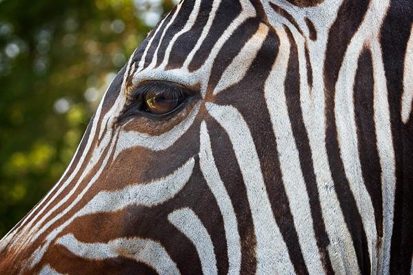 Maker:  Freeman Ligon<br /> Title:  The Eye of the Zebra<br /> Category:  Pictorial<br /> Score:  12.5