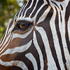 Maker:  Freeman Ligon<br /> Title:  The Eye of the Zebra<br /> Category:  Pictorial<br /> Score:  12.5