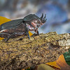 Maker:  Larry Phillips<br /> Title:  Rhino Beetle<br /> Category:  Macro/Close Up<br /> Score:  14