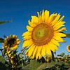 Maker:  Dwayne Anders<br /> Title:  Sunflower<br /> Category:  Pictorial<br /> Score:  12