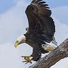 Maker:  Ronald Austin<br /> Title:  The Eagle is Landing<br /> Category:  Wildlife<br /> Score:  12