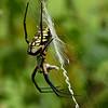Maker:  Ronald Austin<br /> Title:  Garden Spider<br /> Category:  Wildlife<br /> Score:  11.5