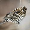 Maker:  Lee Davis<br /> Title:  Female Red-winged Blackbird<br /> Category:  Wildlife<br /> Score:  11.5