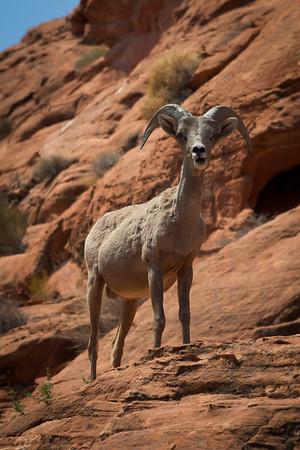 Maker:  Freeman Ligon<br /> Title:  Bighorn Sheep<br /> Category:  Pictorial<br /> Score:  11.5