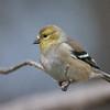 Maker:  Lee Davis<br /> Title:  Goldfinch<br /> Category:  Wildlife<br /> Score:  11