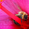 Maker:  Wayne Tabor<br /> Title:  Bee Sleeping in Hibiscus<br /> Category:  Macro/Close Up<br /> Score:  12