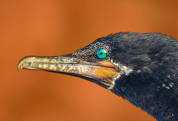 Maker:  Dale Lindenberg<br /> Title:  Eye of Cormorant<br /> Category:  Pictorial<br /> Score:  12