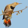 Maker:  Dale Lindenberg<br /> Title:  Flicker<br /> Category:  Wildlife<br /> Score:  12
