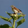 Maker: Dirk Sanderson<br /> Title:  Bird On Sunflower<br /> Category:  Wildlife<br /> Score:  13