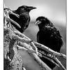 Maker:  Wayne Tabor<br /> Title:  Ravens on Dead Tree<br /> Category:  Black & White<br /> Score:  11