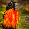 Maker:  Wayne Tabor<br /> Title:  Baltimore Oriole Bathing<br /> Category:  Wildlife<br /> Score:  13