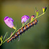 Maker:  Wayne Tabor<br /> Title:  Caterpillar on Dewy Flower<br /> Category:  Macro/Close Up<br /> Score:  15