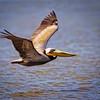 Maker:  Wayne Tabor<br /> Title:  Brown Pelican in Flight<br /> Category:  Wildlife<br /> Score:  13