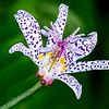 Maker:  Brent Reed<br /> Title:  Toad Lily<br /> Category:  Macro/Close Up<br /> Score:  11