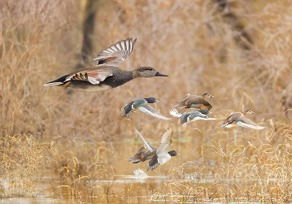 Maker:  Mike Smith<br /> Title:  Ducks Flushing<br /> Category:  Wildlife<br /> Score:  12