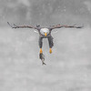 Maker:  Mike Smith<br /> Title:  Eagle Fishing in Snowstorm<br /> Category:  Wildlife<br /> Score:  12.5