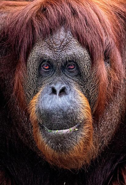 Maker:  Dale Lindenberg<br /> Title:  Orangutan I'm Cute<br /> Category:  Pictorial<br /> Score:  15