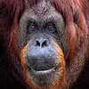 Maker:  Dale Lindenberg<br /> Title:  Orangutan I'm Cute<br /> Category:  Pictorial<br /> Score:  15