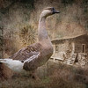 Maker:   Danny Haddox<br /> Title:    The Goose<br /> Category:  Altered Reality<br /> Score:  13.5