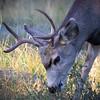 Maker:  Danny Haddox<br /> Title:  Mule Deer<br /> Category:  Wildlife<br /> Score:  12