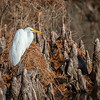 Maker:  Lee Davis<br /> Title:  Daydreaming Egret<br /> Category:  Wildlife<br /> Score:  11