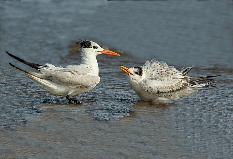 Maker:  Dale Lindenberg<br /> Title:  Terns<br /> Category:  Wildlife<br /> Score:  12