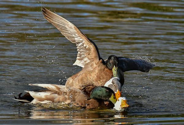 Maker:  Ronald Austin<br /> Title:  Gang Fight<br /> Category:  Wildlife<br /> Score:  12