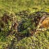 Maker:  Dale Lindenberg<br /> Title:  Gator Eyes<br /> Category:  Macro/Close Up<br /> Score:  11.5