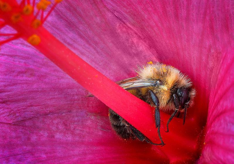 Maker:  Wayne Tabor<br /> Title:  Sleeping Bee<br /> Category:  Macro/Close Up<br /> Score:  14.5