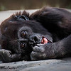 Maker:  Dwayne Anders<br /> Title:  Baby Gorilla<br /> Category:  Pictorial<br /> Score:  13
