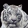 Maker:  Dale Lindenberg<br /> Title:  White Tiger<br /> Category:  Altered Reality<br /> Score:  13.5