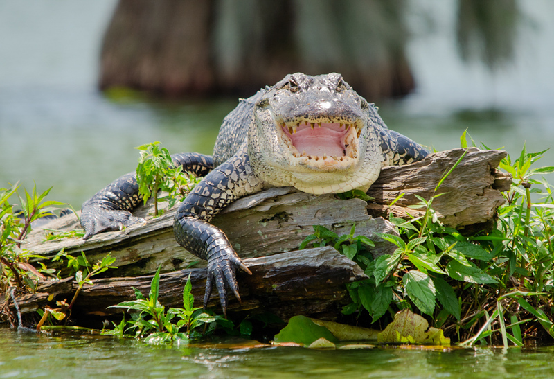 "Maker: Cindy Singletary <br /> Title:  ""Lake Martin Alligator""<br /> Category:  Wildlife<br /> Score:  11.5"