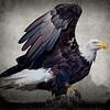 Maker:  Danny Haddox<br /> Title:  Eagle<br /> Category:  Pictorial<br /> Score:  12