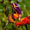 Maker:  Sarah Lockridge<br /> Title:  Monarch on Zinnia<br /> Category:  Pictorial<br /> Score:  11.5
