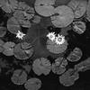 Maker:  Ronald Austin<br /> Title:  Black & White Lily Pads<br /> Category:  Black & White<br /> Score:  11.5