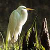 Maker:  Lee Davis<br /> Title:  Morning Egret<br /> Category:  Wildlife<br /> Score:  12.5