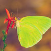 Maker:  Dale Lindenberg<br /> Title:  Butterfly on Red Flower<br /> Category:  Macro/Close Up<br /> Score:  15