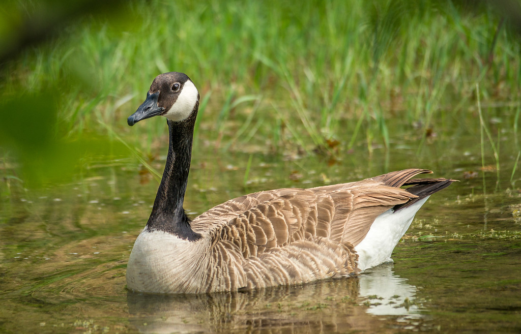 Maker:  Rickey Scroggins <br /> Title:  Mother Goose <br /> Category:  Wildlife<br /> Score:  11