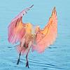 Maker:  Dale Lindenberg<br /> Title:  Spoonbill Landing<br /> Category:  Wildlife<br /> Score:  12
