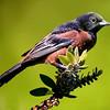 Maker:  Dale Lindenberg<br /> Title:  Oriole<br /> Category:  Wildlife<br /> Score:  15
