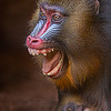 Maker:  Dale Lindenberg<br /> Title:  Mandrill with Baby<br /> Category:  Pictorial<br /> Score:  13