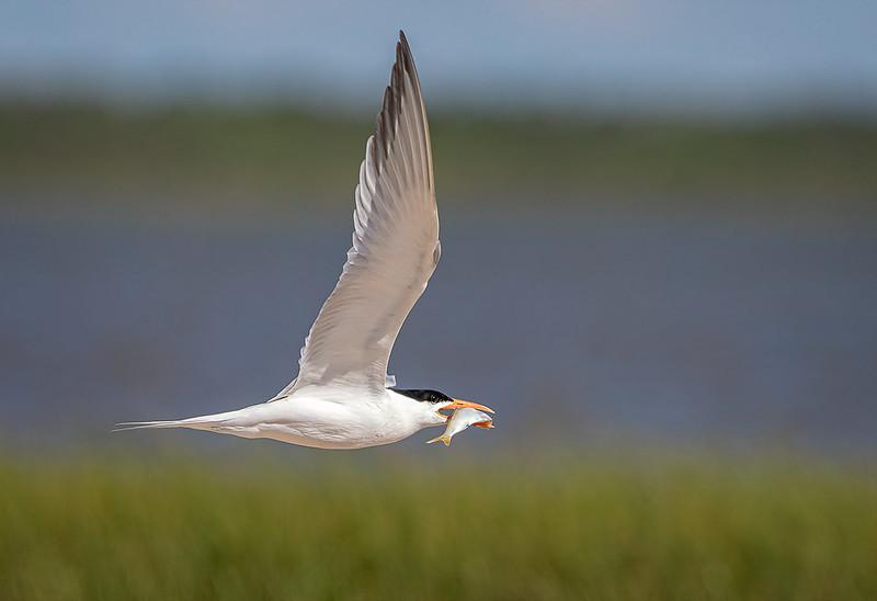 Maker:  Dale Lindenberg<br /> Title:  Tern with Fish<br /> Category:  Wildlife<br /> Score:  13