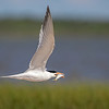 Maker:  Dale Lindenberg<br /> Title:  Tern with Fish<br /> Category:  Wildlife<br /> Score:  13