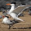 Maker:  Dale Lindenberg<br /> Title:  Terns Mating<br /> Category:  Wildlife<br /> Score:  12.5