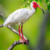 Maker:  Mike Smith<br /> Title:  White Ibis #1<br /> Category:  Wildlife<br /> Score:  12.5