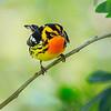 Maker:  Mike Smith<br /> Title:  Blackburnian Warbler<br /> Category:  Wildlife<br /> Score:  12.5
